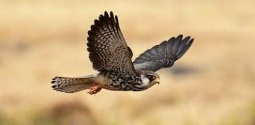 Falken sind willkommen